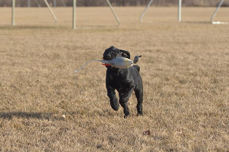 black lab puppy retrieving dummy
