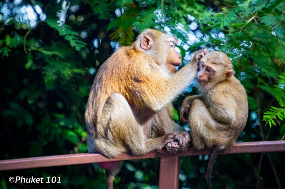 phuket-monkeys