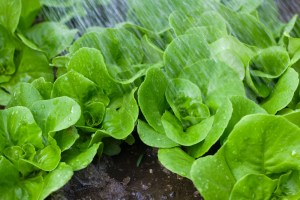 Water Your Lettuce