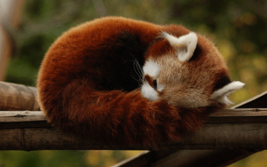 Six Quirky Facts About Red Pandas