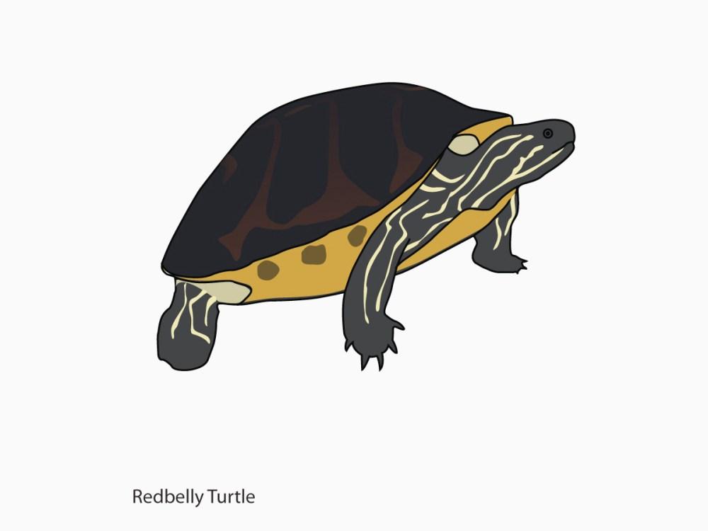 ALA-fauna-Redbelly