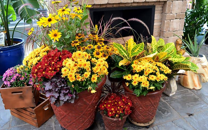 How To Plant Mums In Fall The Home Depot