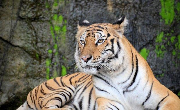 Tigers in Bastar, Chhattisgarh