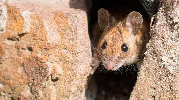 Our attempts to hide food from rats have made them better at puzzle solving, research suggests - Getty Images - Getty Images