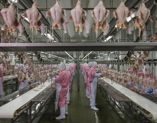 Antibióticos usados na criação de frangos está dando origem a superbactérias