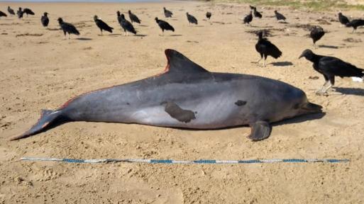 Resultado de imagem para golfinho morto pelo oleo