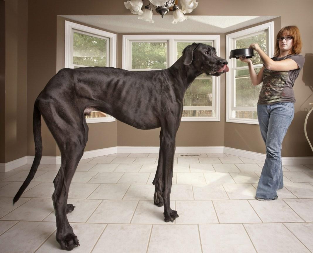 Zeus, cachorro mais alto do mundo, no interior de casa com sua tutora
