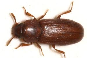 tribolium castaneum popularmente conhecido como besouro de farinha vermelho ou besouro castanho 1542322366414 300x200 - Aquecimento global ameaça fertilidade masculina, aponta estudo