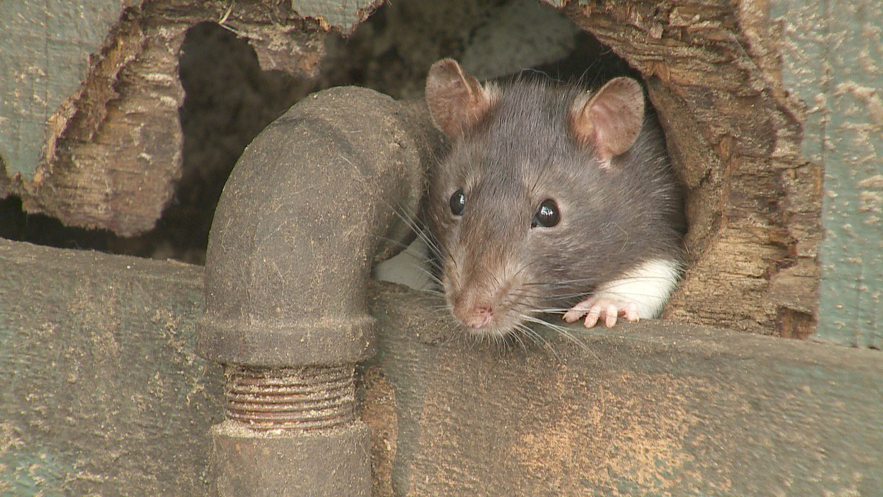 How To Get Rid Of Rats DIY Tips Amp Contractor Cost