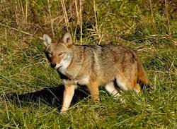 coyote-250