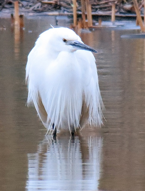 Little Egret 550