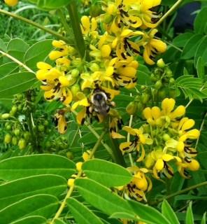Cassia with Honeybee