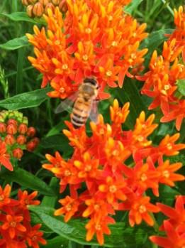 Honeybee working hard on Asclepias