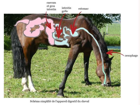 appareil digestif cheval
