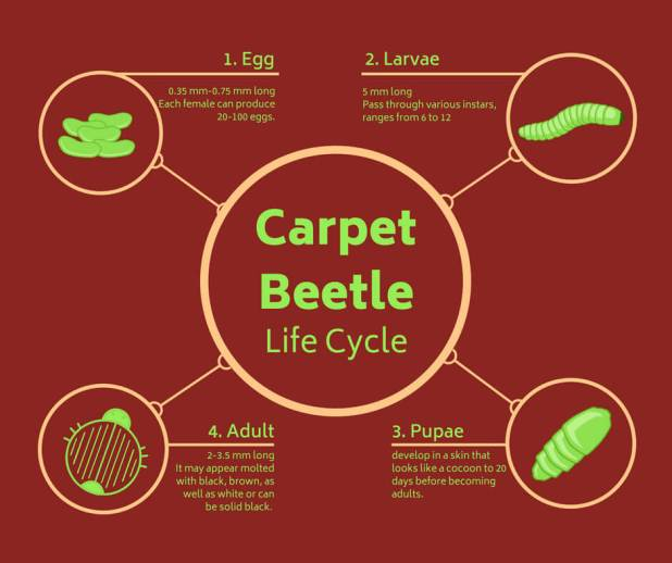 what is the life cycle of carpet beetles
