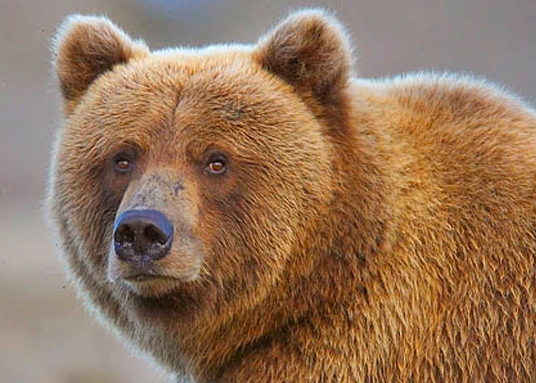 Alaska Brown Bear: Up Close And Personal