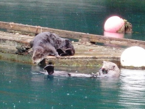 Two resident sea otters at our local oyster farm