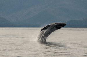 Breaching_Whale