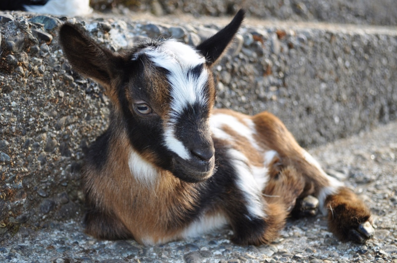 Goat Baby Photo Blast