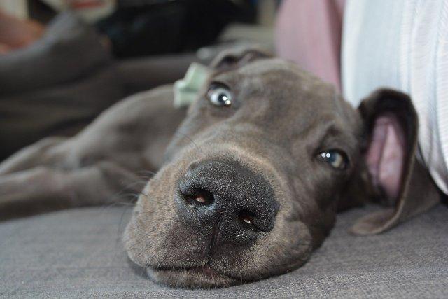 dog, puppy, nose