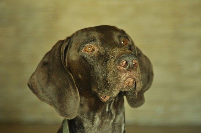 portrait, dog, shorthaired pointer