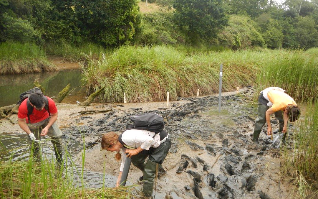 Continúan las acciones de seguimiento de las actuaciones de restauración en los estuarios de la región