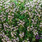 Remedios naturales con plantas: Tomillo para los resfriados y síntomas gripales