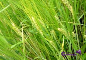hierba de cebada, superalimentos y candidiasis