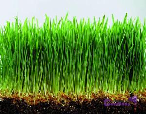 hierba de trigo superalimentos y candidiasis
