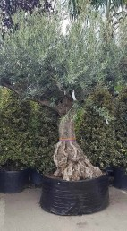 Creative Bonsai Trees Gardening Ideas For Backyard 34