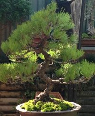 Creative Bonsai Trees Gardening Ideas For Backyard 37