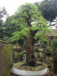 Creative Bonsai Trees Gardening Ideas For Backyard 40