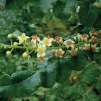 EscinaSi estrae sopratutto da semi di Ippocastano diffuso in europa.La miscela di saponine  presenta azione antinfiammatoria, vasoprotettrice e vasocostrittrice. Contribuisce alla riduzione degli edemi.