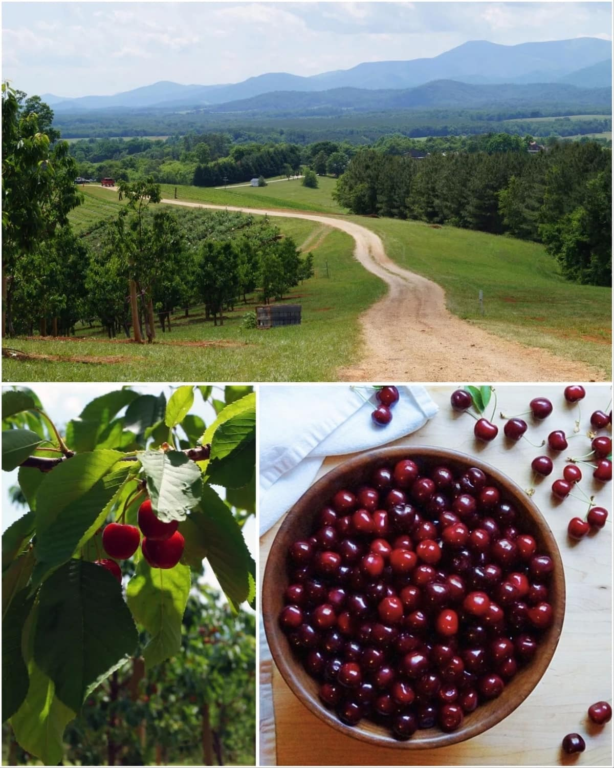 Collage of a photo of the farm with mountain views, close up of cherries on the tree, and a bowl of picked cherries.