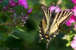 20170714-butterfly-106