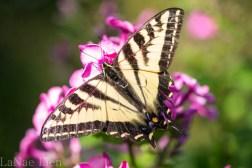 20170714-butterfly-111