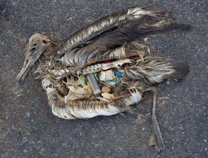 dead-bird-plastics-inside