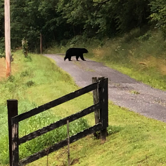 Pennsylvania Bear
