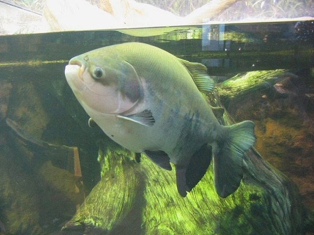 The Pacu fish when it isn't flashing its pearly whites at us.