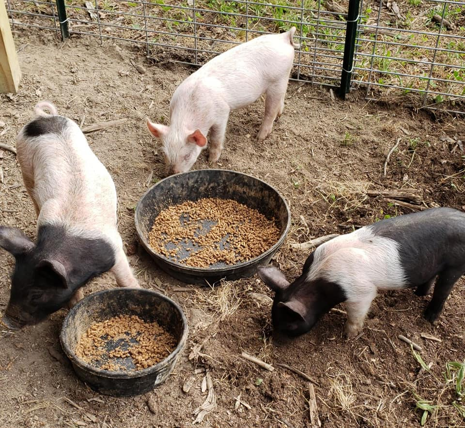 three pigs in pen at feeding time