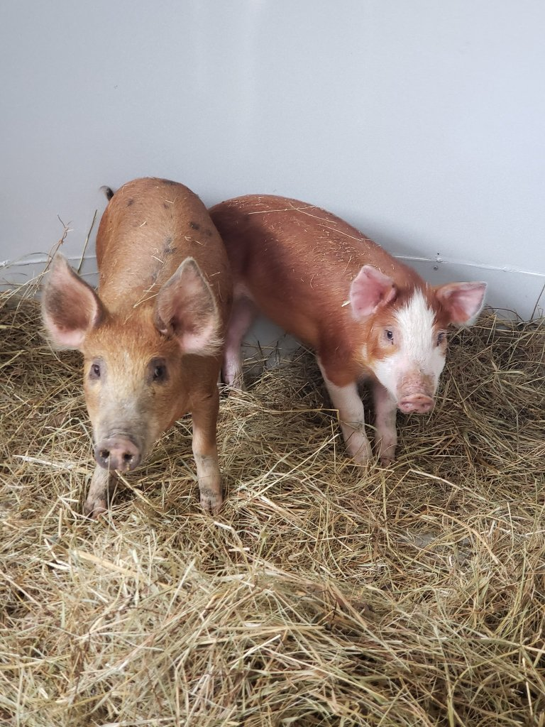 two pigs in straw bedding