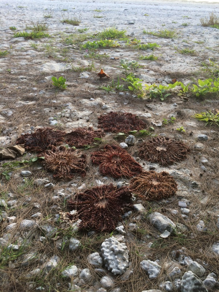 Dead and desiccating crown-of-thron starfish at our Base 1 beach on Aitutaki.  July 29, 2015.  Killing individuals underwater can release larvae that bolster the population so the only sure way of killing these guys is to haul them up onto dry land and let them dry out in the air and sun.