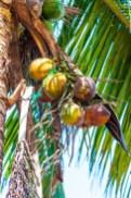 coconuts-1625018_640