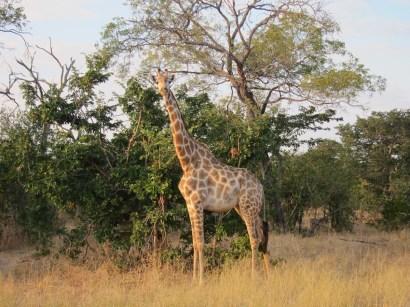 giraffe africa travel