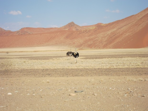 ostrich desert africa