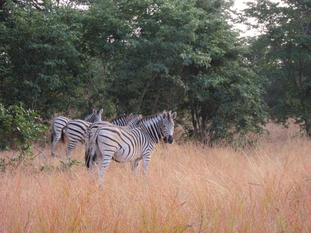 zebra safari africa