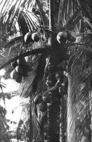 MONKEY PICKING COCONUTS