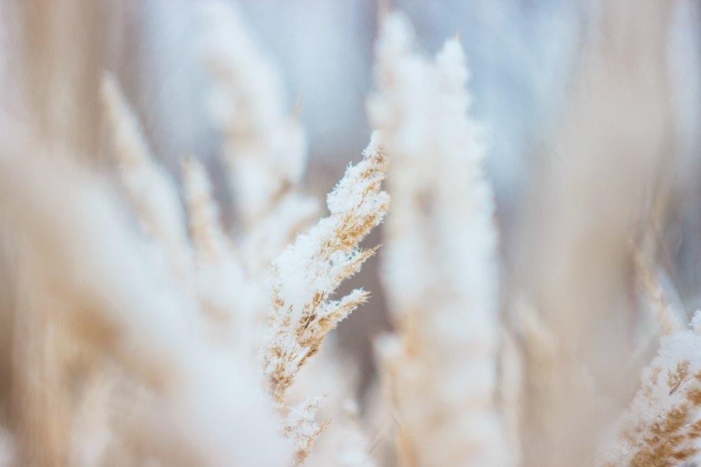 麦,小麦,冬の麦