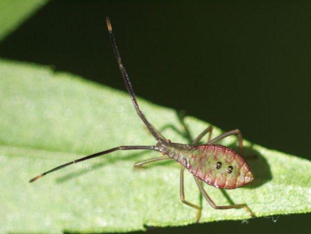 P1170160オオクモヘリカメムシ幼虫-SP-t2600w-s640w