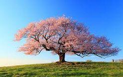 中部地方で人気の桜の名所ってどこ?